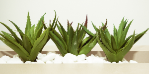 Three cactus aloe vera with white rocks underneath