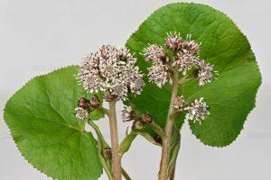 plant butterbur