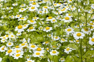feverfew flower field